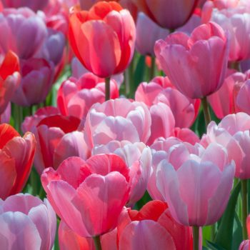 Tulip Darwin Hybrid Blend Gentle Giant from Colorblends Wholesale Flowerbulbs - Year of the Tulip - National Garden Bureau