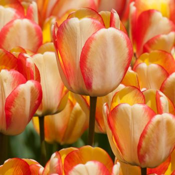 Tulip Darwin Hybrid Beauty of Spring from Colorblends Wholesale Flowerbulbs - Year of the Tulip - National Garden Bureau