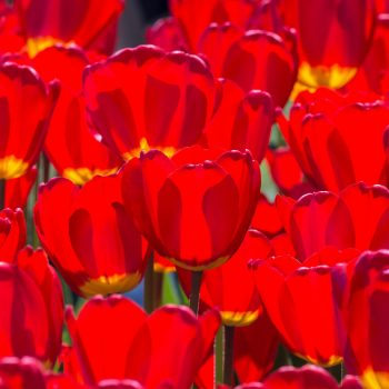 Tulip Darwin Hybrid Best Red from Colorblends Wholesale Flowerbulbs - Year of the Tulip - National Garden Bureau