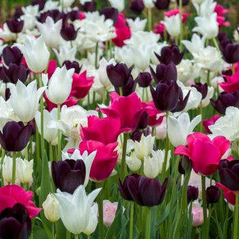Tulip Darwin Lilly Blend Boutonniere from Colorblends Wholesale Flowerbulbs - Year of the Tulip - National Garden Bureau