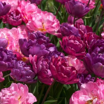 Tulip Double Beyond Baroque from Colorblends Wholesale Flowerbulbs - Year of the Tulip - National Garden Bureau