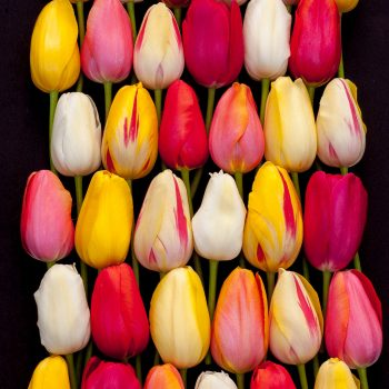 French Blend from Colorblends Wholesale Flowerbulbs - year of the Tulip - National Garden Bureau