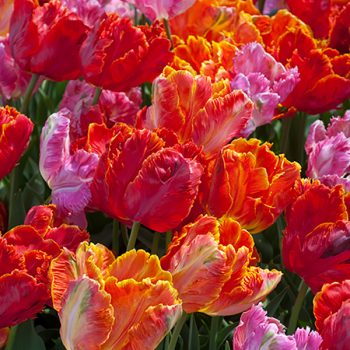 Parrot Blend From Colorblends Wholesale Flowerbulbs - Year of the Tulip - National Garden Bureau