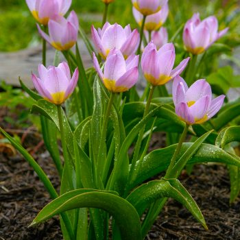 Tulip Wild Bakeri-Lilac-Wonder from Colorblends Wholesale Flowerbulbs - Year of the Tulip - National Garden Bureau