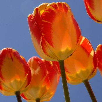 Tulip Banja Luca Blend from Colorblends Wholesale Flowerbulbs - Year of the Tulip - National Garden Bureau