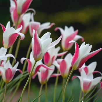 Tulip Wild - Lady Jane from Colorblends Wholesale Flowerbulbs - Year of the Tulip - National Garden Bureau