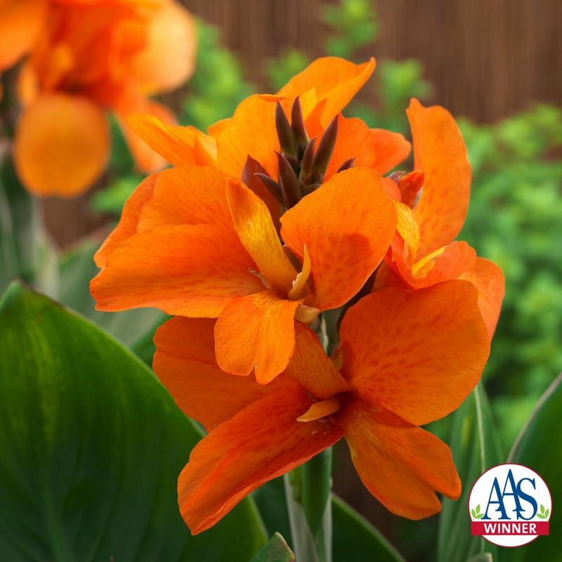South Pacific Orange Canna a 2018 AAS Winner - #orangeflower #pollinatorgarden #containergarden