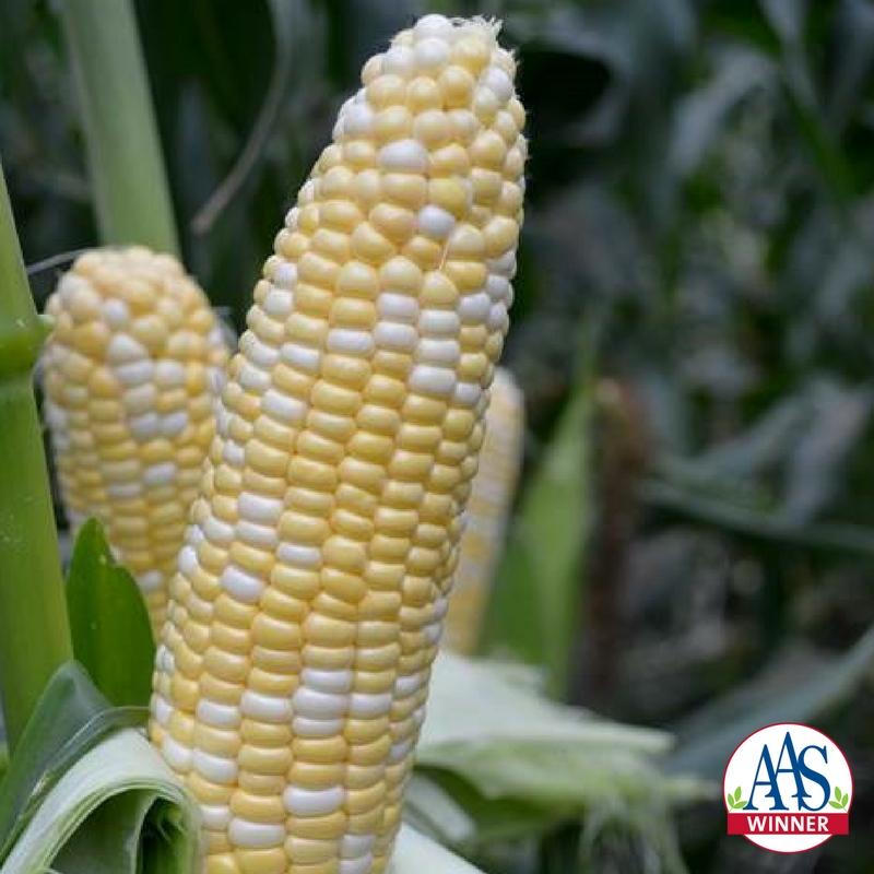American Dream Sweet Corn a 2018 AAS Winner - #SweetCorn #Garden #BicolorCorn
