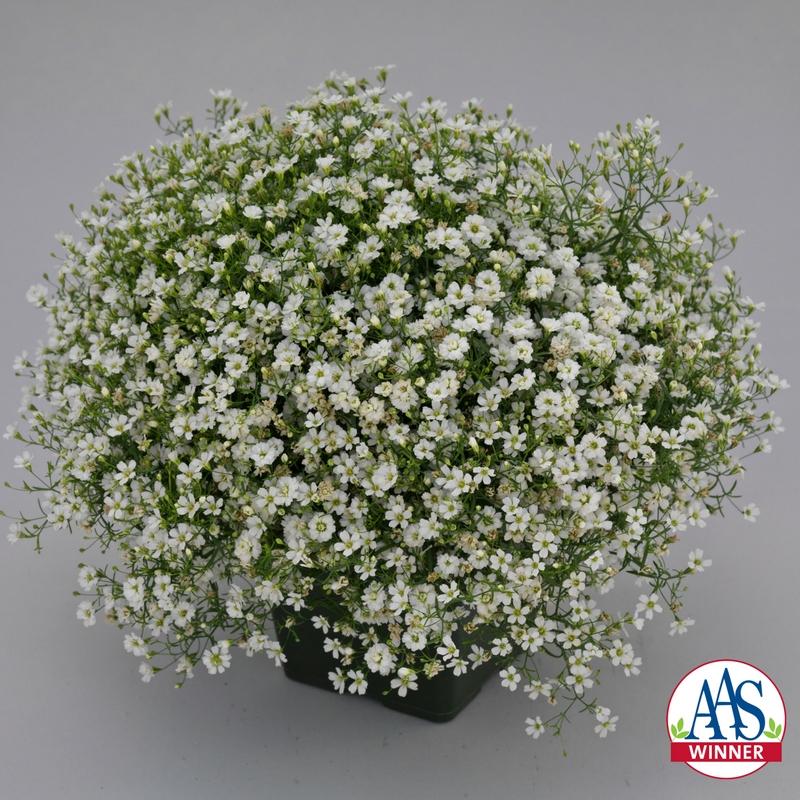 Gypsophila Gypsy White Improved - 2018 AAS Winner - #CutFlower #Garden #WeddingFlowers