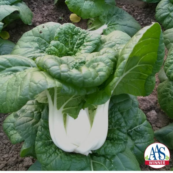 Pak Choi Asian Delight - perfect for fall harvest - National Garden Center