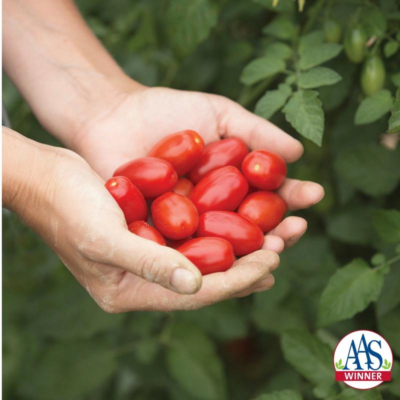Tomato Valentine a 2018 AAS Winner