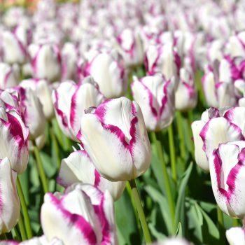 Tulip Affaire from DutchGrown - Year of the Tulip - National Garden Bureau