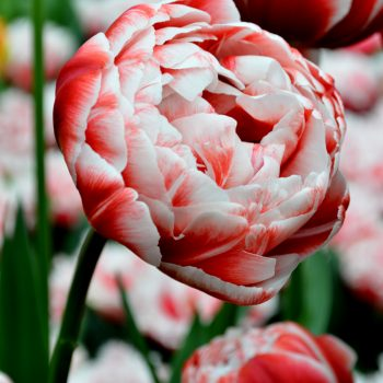 Tulip Drumline from DutchGrown - Year of the Tulip - National Garden Bureau