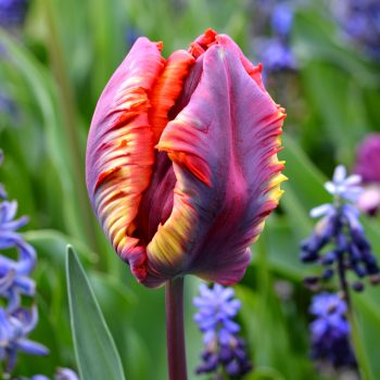 Tulip Rainbow Parrot from DutchGrown - Year of the Tulip - National Garden Bureau