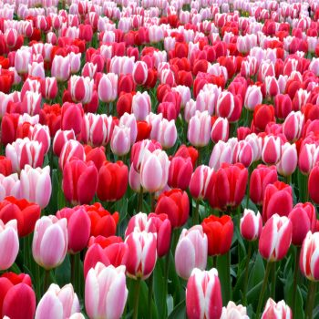 Tulip Strawberry Fields Collection from DutchGrown- Year of the Tulip- National Garden Bureau