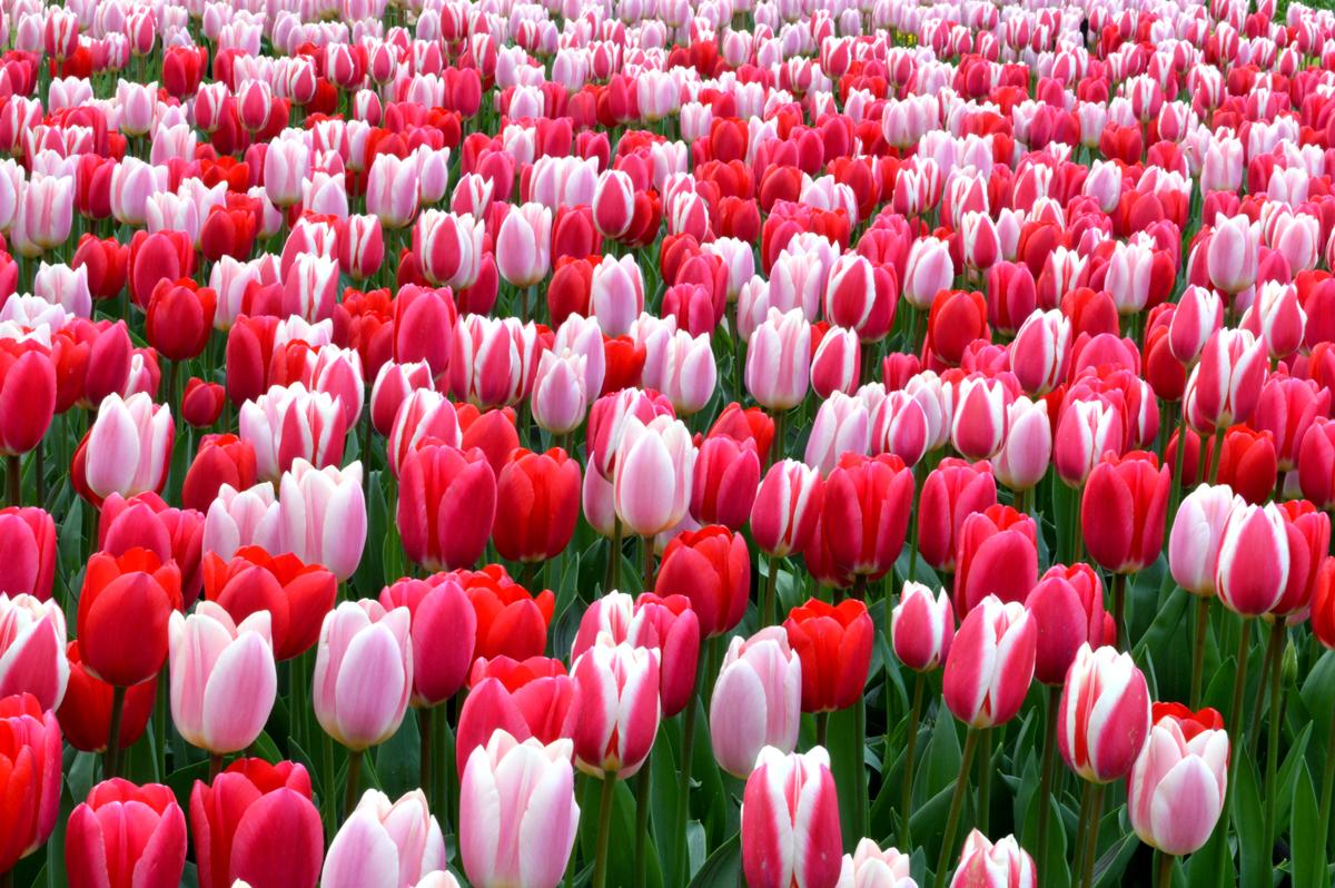 Year of the Tulip - National Garden Bureau