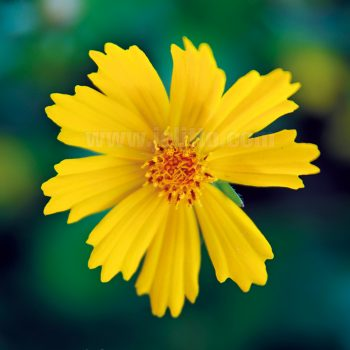 Coreopsis Elfin Gold from Jelitto Perennial Seeds - Year of the Coreopsis - National Garden Bureau