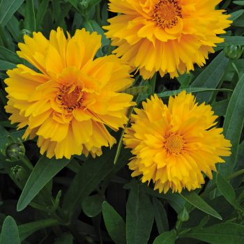 Coreopsis Santa Fe from Jelitto Perennial Seeds - Year of the Coreopsis - National Garden Bureau