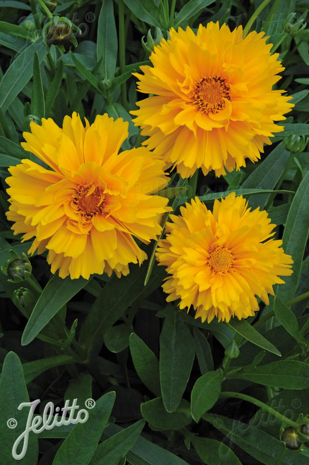 Coreopsis Pictures National Garden Bureau