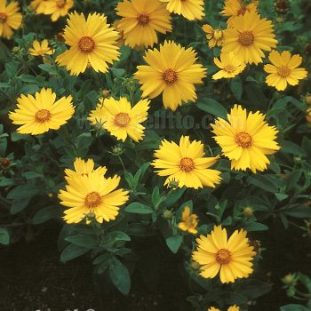 Coreopsis Sunshine Superman from Jelitto Perennial Seeds - Year of the Coreopsis - National Garden Bureau