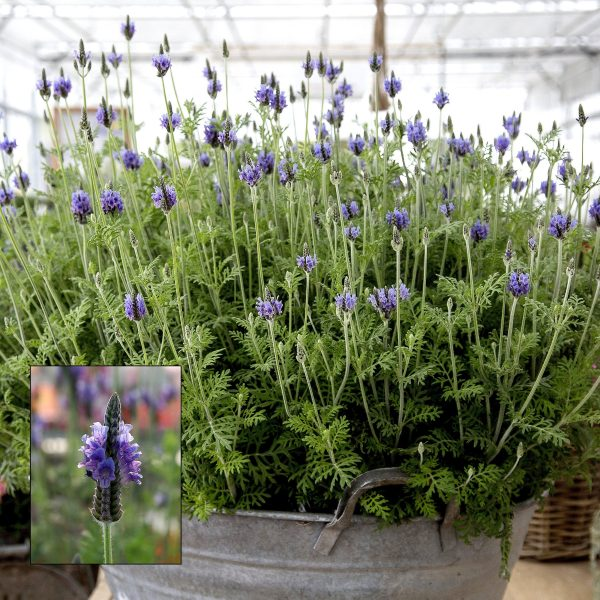 Torch Blue Lavender