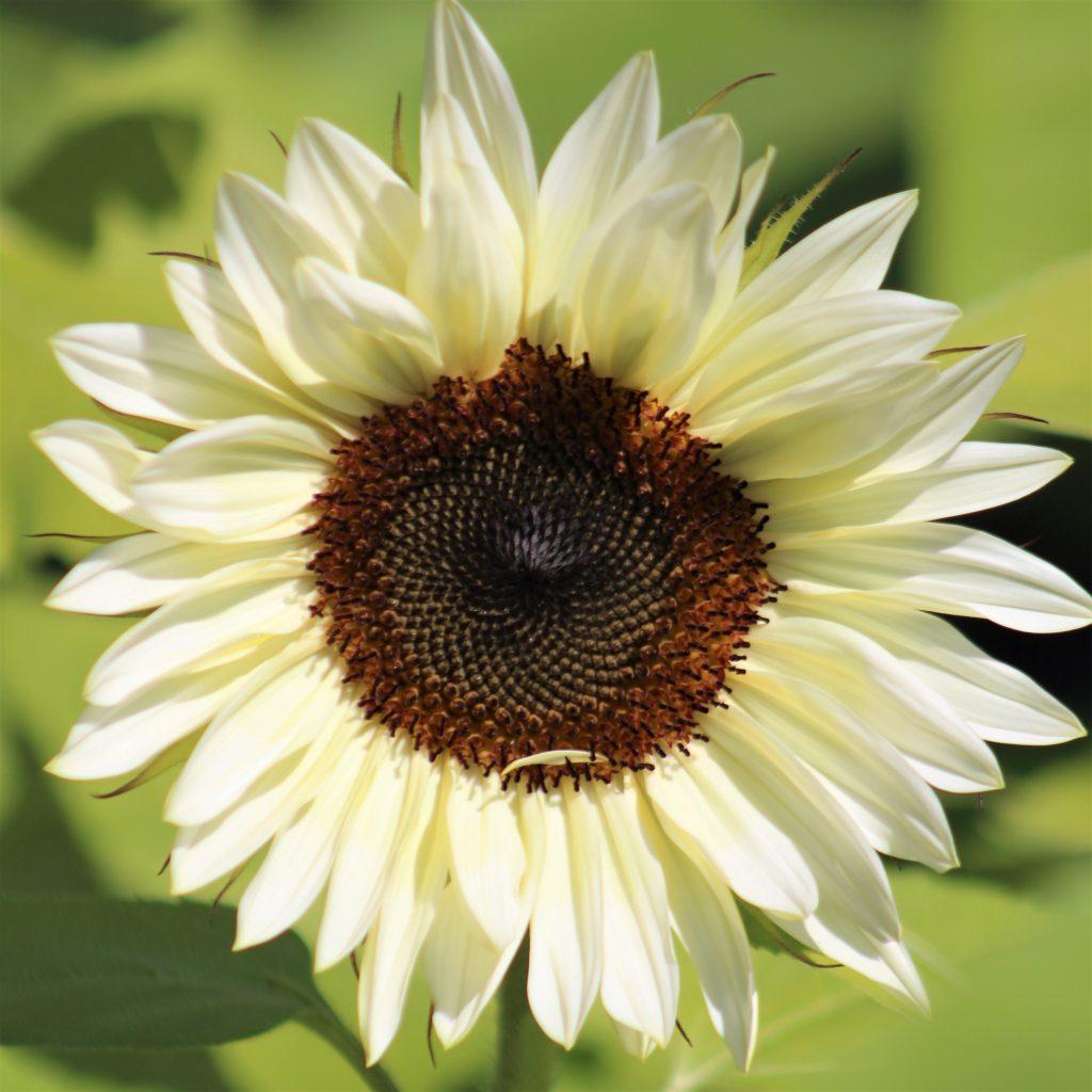 Pro Cut White Nite Sunflower