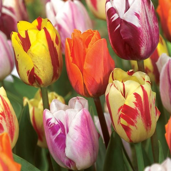 Flaming Beauty Mix Tulips from Brent and Becky's Bulbs - Year of the Tulip - National Garden Bureau- Spring Flowering Bulb