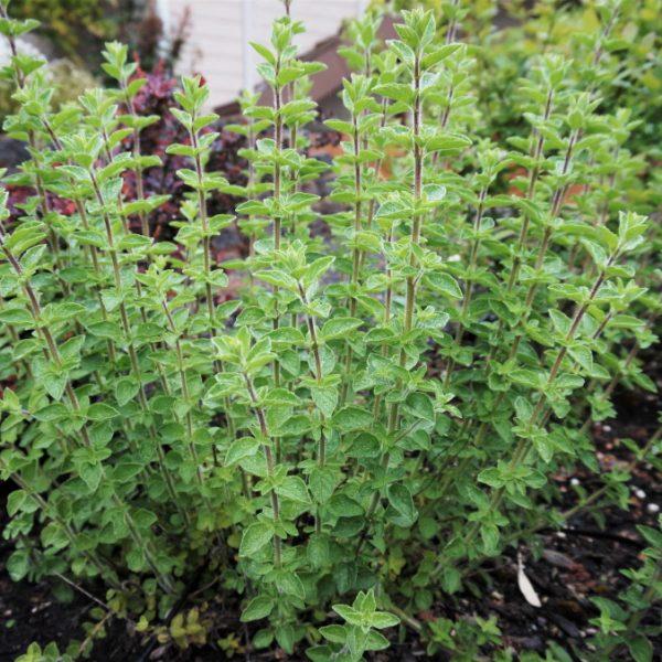 Hyssop herb - National Garden Bureau