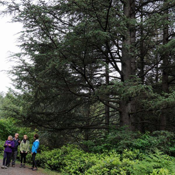 Cedar of Lebannon - National Garden Bureau