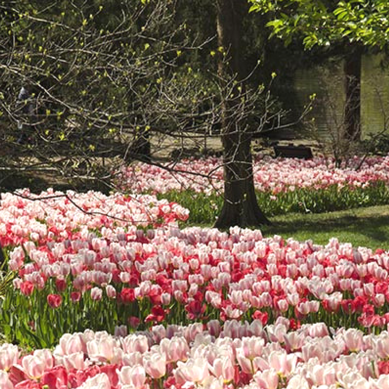 A flowerbed of multicolored tulips at Centennial Park.