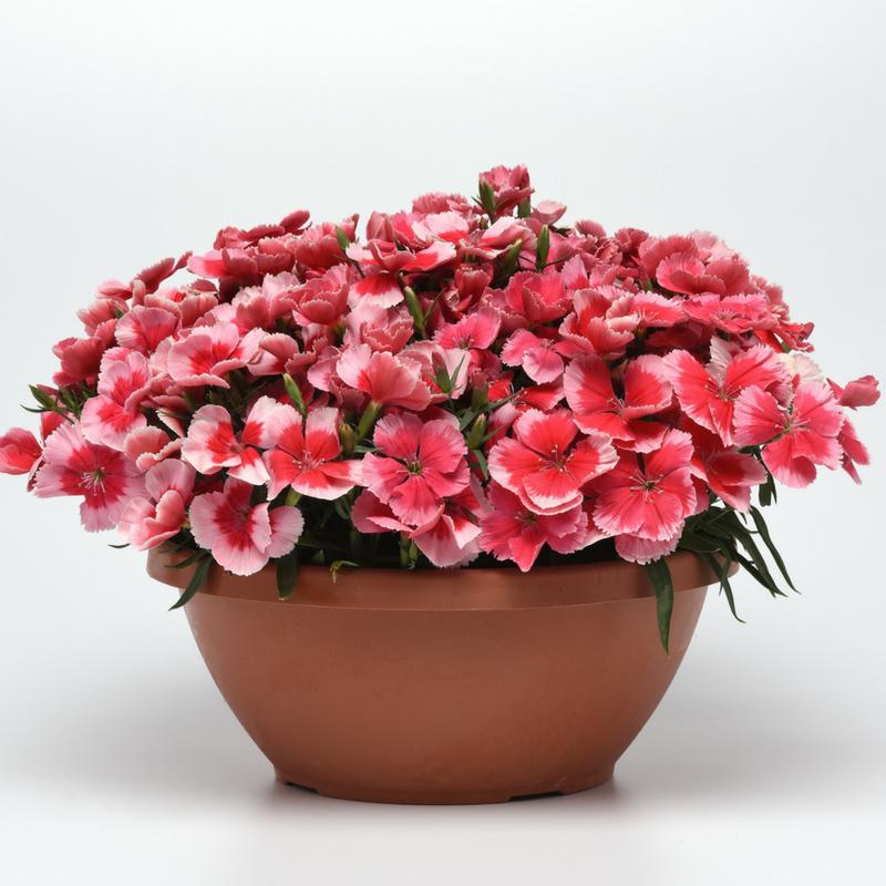 Dianthus Corona
