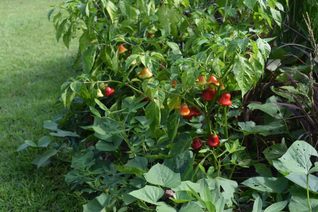 Dwarf Peppers: Solanaceae plant foliage is poisonous which helps deter deer and rabbits - National Garden Bureau