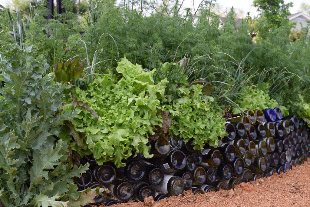 Lettuce- easy to harvest - National Garden Bureau