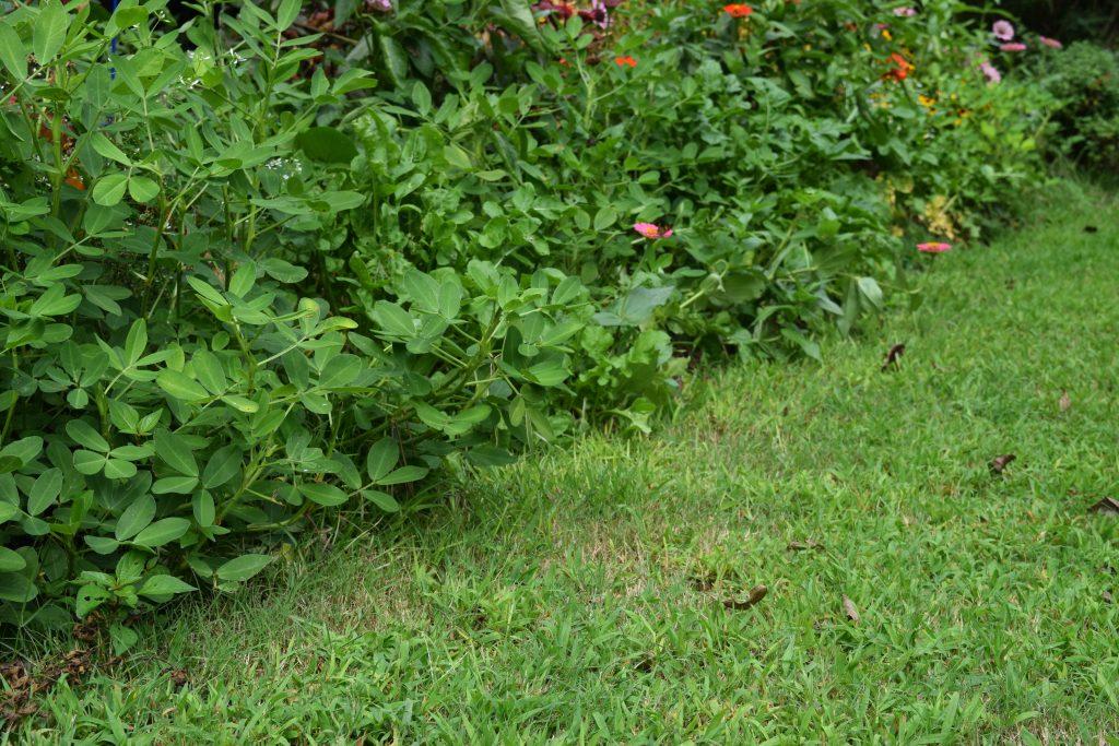 Peanuts: naturally fixes nitrogen back into the garden - National Garden Bureau