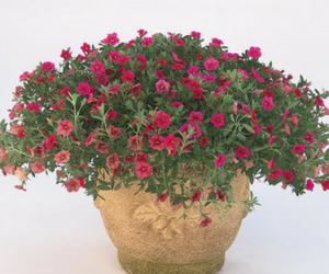 Million Bells® Cherry Pink Calibrachoa