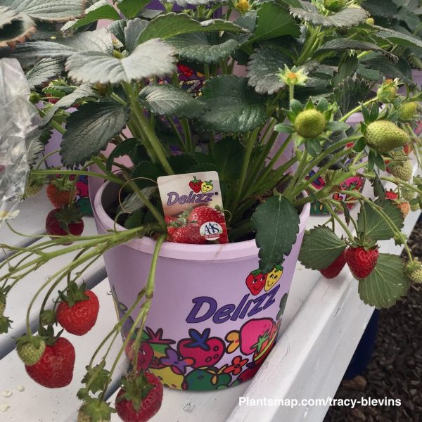 AAS Winner Strawberry Delizz plants - National Garden Bureau