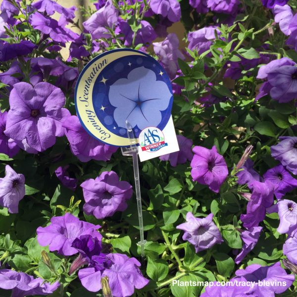 Evening Scentation Petunia - National Garden Bureau