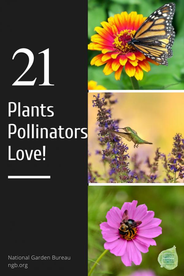 21 Plants Pollinators Love! - National Garden Bureau - #pollinatorgarden #gardeningtips #nationalgardenburea