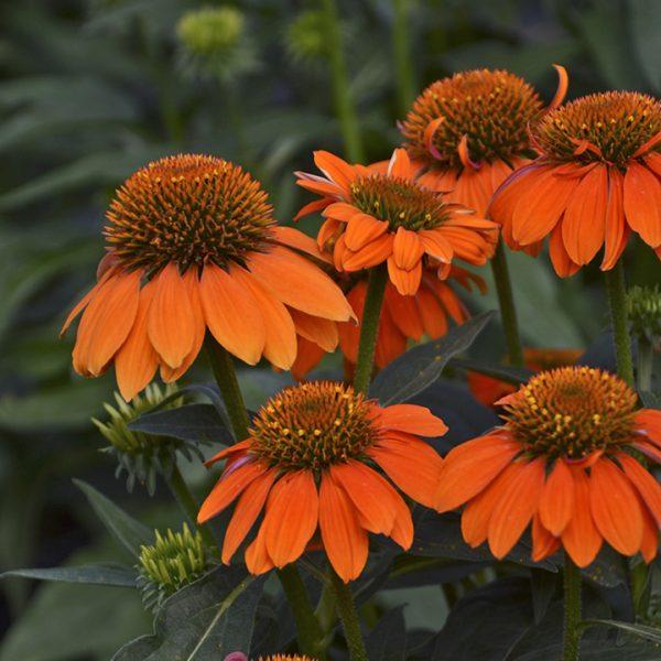 Coneflower Sombrero® Adobe Orange