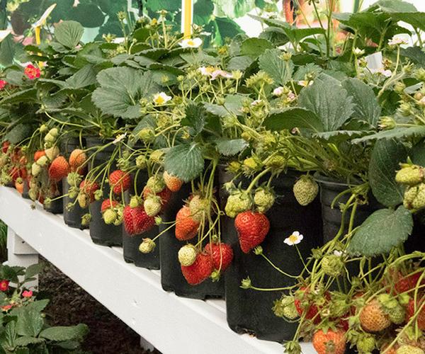Strawberry Delizz - AAS Winner