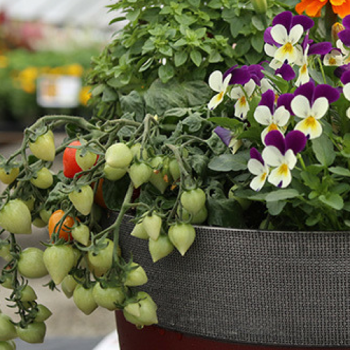Tomatoes, Herbs & Flowers in a container garden.