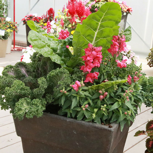 Swiss Chard, Kale and Snapdragons in a container garden.