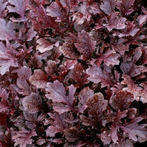 Mizunia Miz America - perfect for Fall Harvest - National Garden Bureau