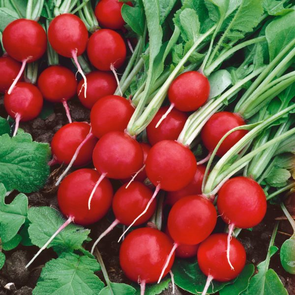 Radish Rudolf is a great crop for Fall Planting - National Garden Bureau