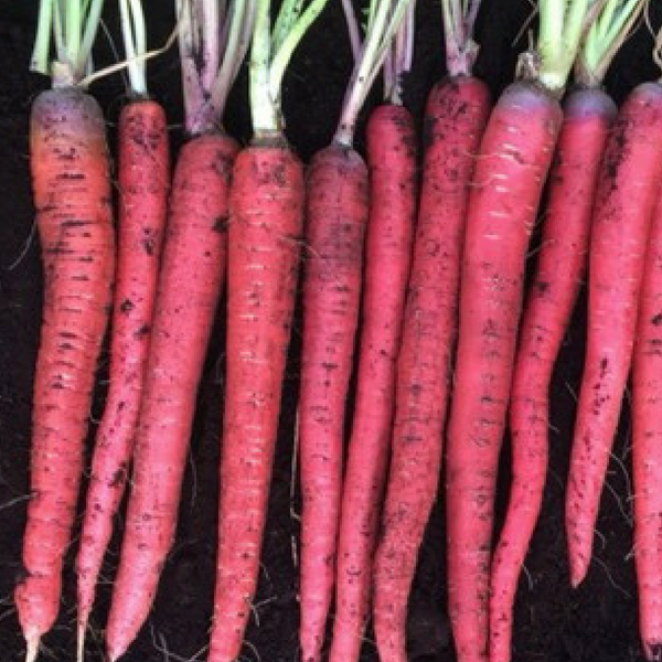 Carrot Malbec - Plant for Fall Gardening - harvest in 70 days - National Garden Bureau