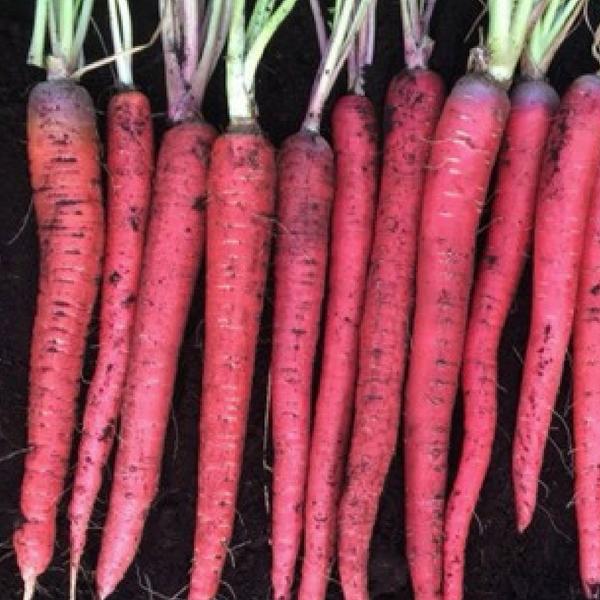 Carrot Malbec - Plant for Fall Gardening - harvest in 70 days - National Garden Bureau