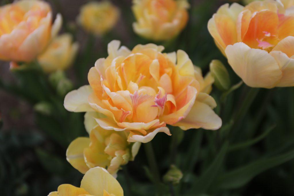Double Tulip - Charming Beauty - Longfield Gardens - National Garden Bureau - Year of the Tulip