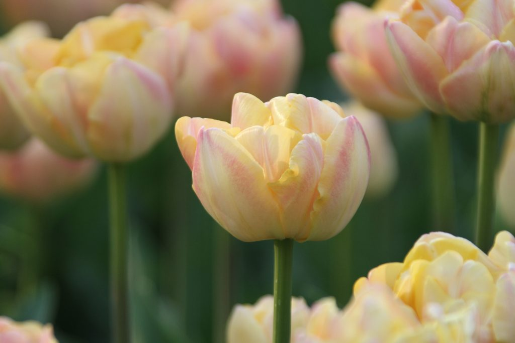 Double Tulip Creme Upstar - Longfield Garden - National Garden Bureau - Year of the Tulip