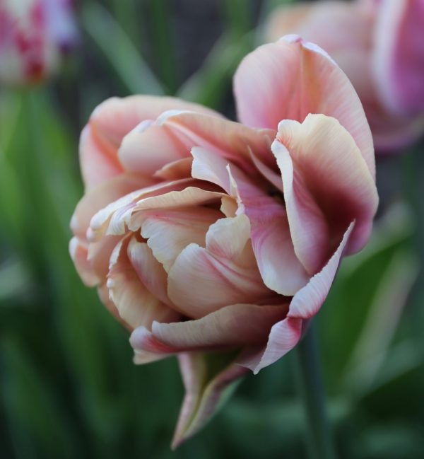 Tulip La Belle Epoch - Double Tulip - Longfield Garden - National Garden Bureau - Year of the Tulip