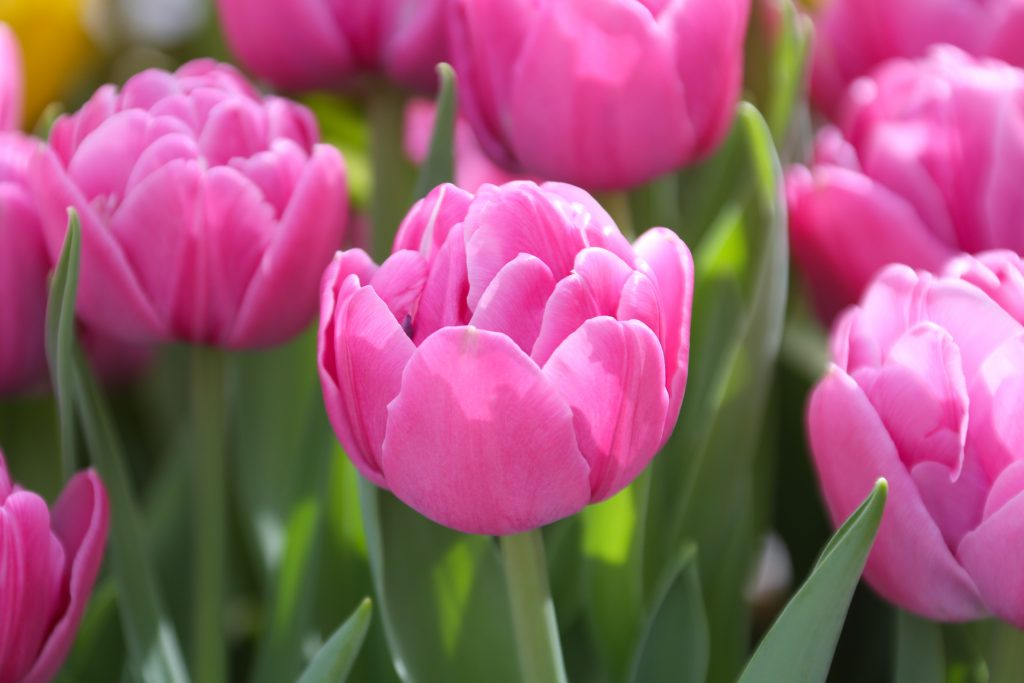 Tulip Double Flag - Double Tulip - Longfield Gardens - National Garden Bureau - Year of the Tulip
